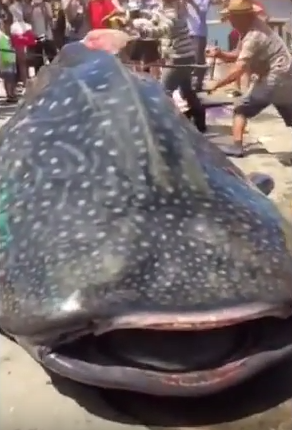 Sickening Clip Shows Whale Shark Being Butchered ALIVE At Chinese Market UNILAD ARnPxv6AstM