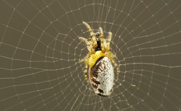 This Killer Wasp Turns Spiders Into Zombies And Make Them Build Webs For Their Larvae UNILAD Al4AP6Y5N