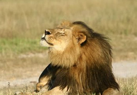 Cecil The Lion Is Going To Get A Statue In His Memory UNILAD BeWN6jP