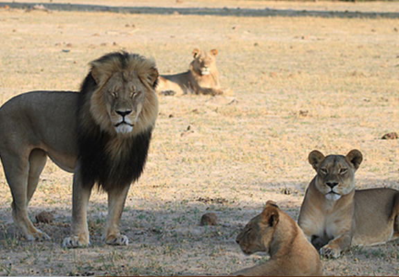 Cecils Cub Gets Killed By Rival Cub, As Hunting Ban Is Lifted In Zimbabwe UNILAD cec web4