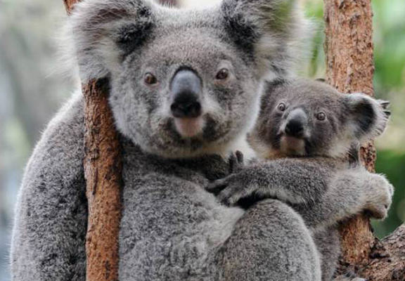 Chlamydia Riddled Koalas Could Help Develop A Vaccine For Sexually Transmitted Infections UNILAD chla web5