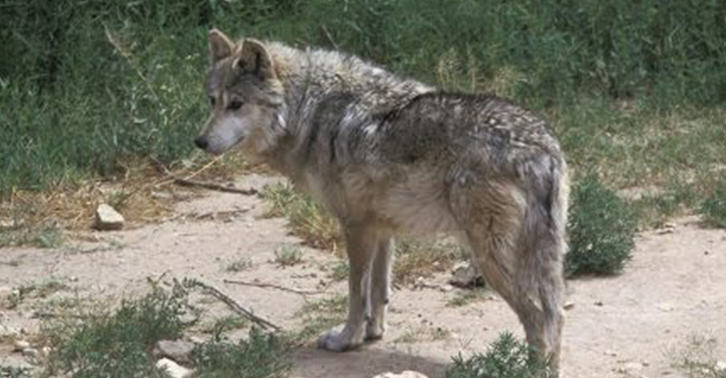 Pictures Of Wolf Pups Reveal First Pack In California For Century UNILAD eee7