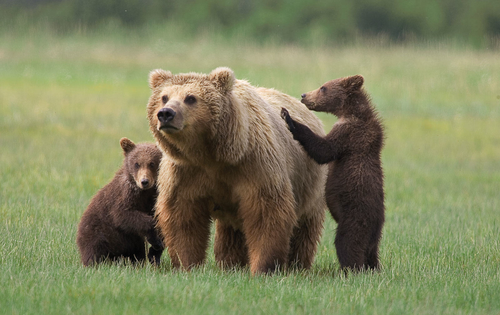 Man In Bear Costume Harasses Actual Real Life Bears In Alaska UNILAD mom grizzly8