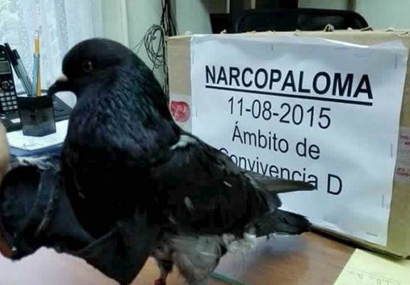 Pigeon Caught Trying To Smuggle Drugs Into Costa Rican Prison UNILAD pigei web2