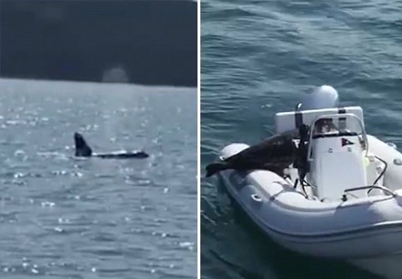 Seal Leaps Onto Family Boat As Killer Whales Circle It UNILAD whales seal WEB7