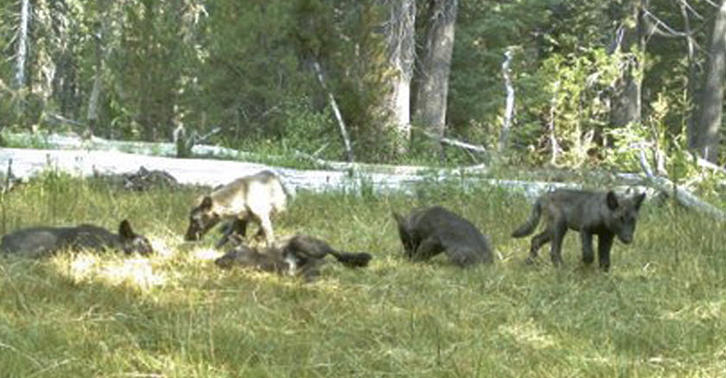 Pictures Of Wolf Pups Reveal First Pack In California For Nearly A Century UNILAD wolf 36