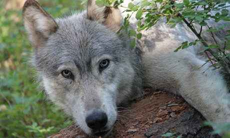 Pictures Of Wolf Pups Reveal First Pack In California For Century UNILAD wp7