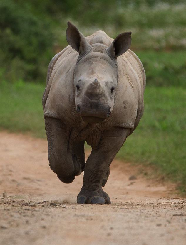 Baby Rhino Pictured Smiling Following Attack By Poachers That He Survived Zh0jJ87AeJacques Matthysen 4.jpg