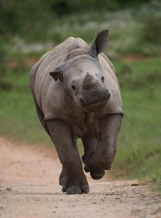 Baby Rhino Pictured Smiling Following Attack By Poachers That He Survived gLsDbKiI7Jacques Matthysen 1.jpg