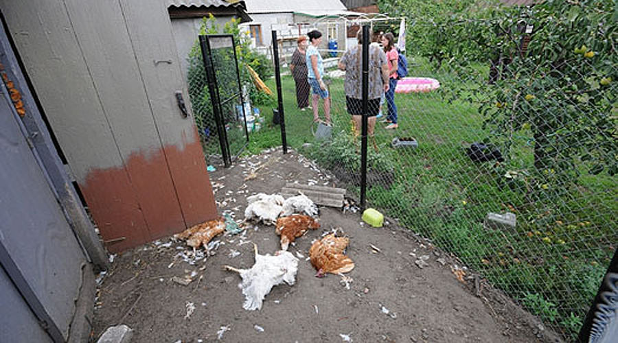 Mysterious Predator Wipes Out Chicken Farm In Russian Village jdBJ6Pqi2russia dog attack 1.jpg