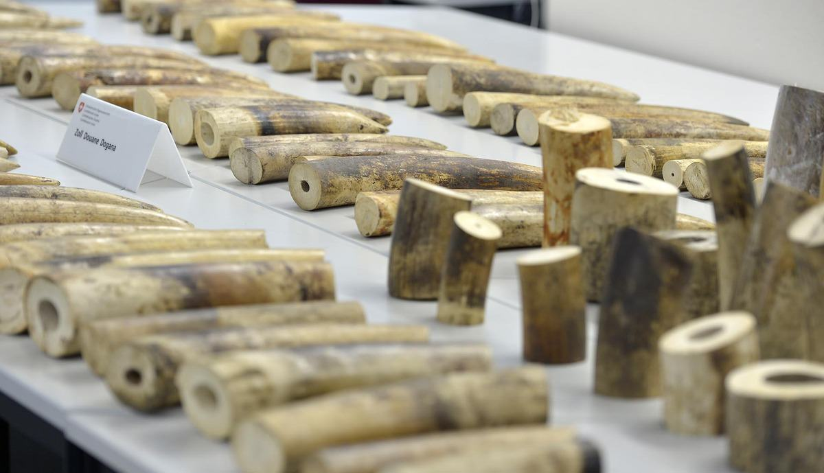 Swiss Customs Confiscate 578 Pounds Of Ivory Destined For China lKmFeR1xU