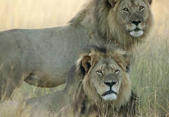 Cecil The Lions Brother Killed By Poachers Leaving Cubs Unprotected zvix4GmKdces1 web.jpg