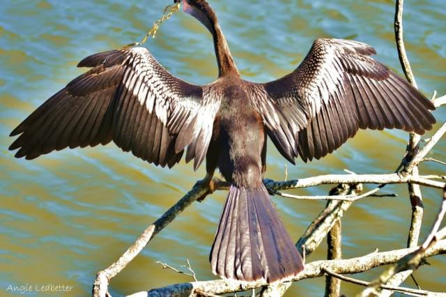 Anhinga-with-latex-balloon-and-ribbon-stuck-on-beak