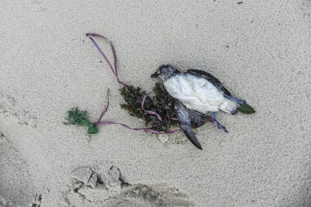 Black-winged-petrel-tangled-in-balloon-ribbon
