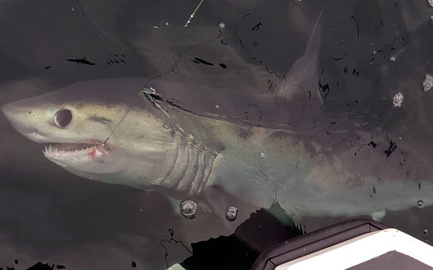 Eight Foot Shark Caught By Fisherman Off Coast Of Sunderland UNILAD The Telegraph4