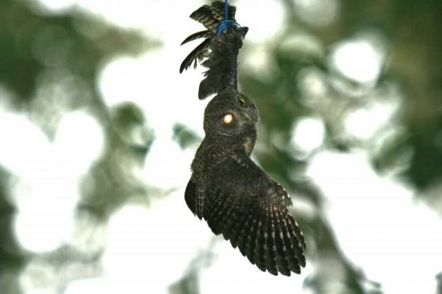 Young-Screech-Owl-hanging-by-balloon-and-its-ribbon