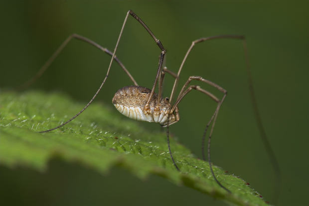 Ten Spiders Coming To Live With You This Autumn UNILAD daddy long getty7
