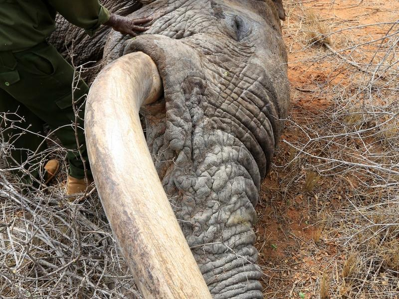 Elephants Wounded By Poison Arrows Seek Out Humans To Save Their Lives UNILAD ele15