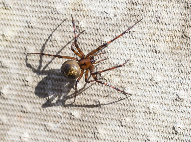 Ten Spiders Coming To Live With You This Autumn UNILAD false widow getty8
