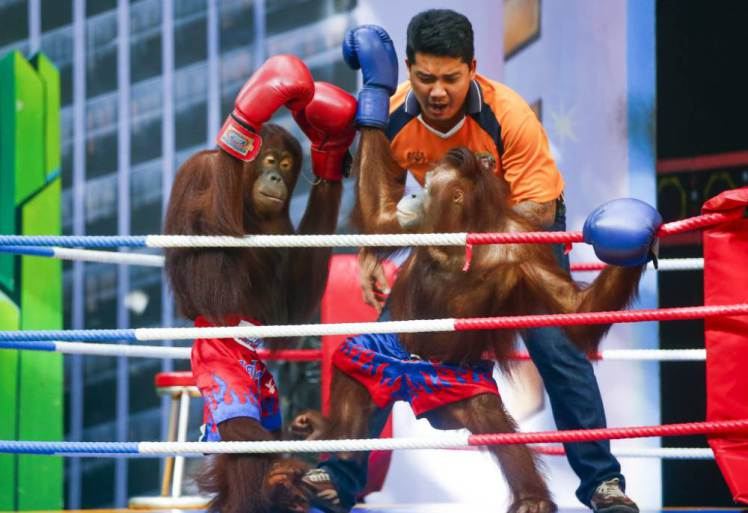 Animal Rights Activists Call For Cruel Orangutan Boxing To Be Banned UNILAD orangutan boxing 15