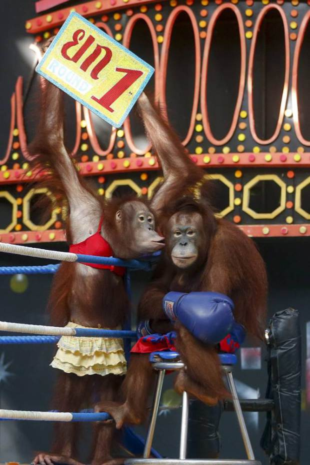 Animal Rights Activists Call For Cruel Orangutan Boxing To Be Banned UNILAD orangutan boxing 23