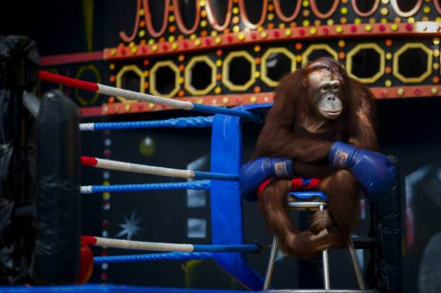 Animal Rights Activists Call For Cruel Orangutan Boxing To Be Banned UNILAD orangutan boxing 33