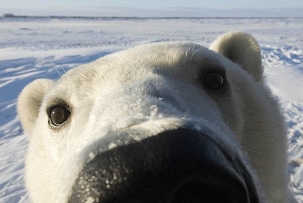 Are These Photos Proof That Global Warming Is Destroying The Planet? UNILAD polar bear face 1811615i3