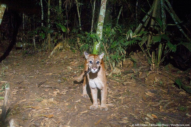 Guy Sets Up Camera Trap In Amazon Jungle And Snaps Rare Animals UNILAD rainforest animals 24