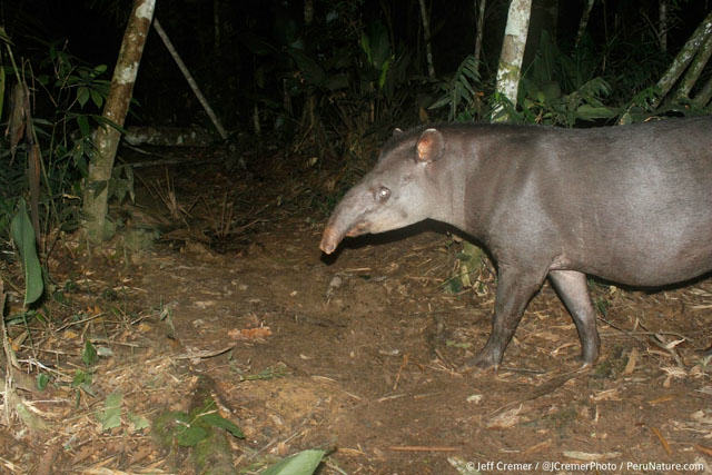 Guy Sets Up Camera Trap In Amazon Jungle And Snaps Rare Animals UNILAD rainforest animals 43