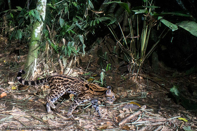 Guy Sets Up Camera Trap In Amazon Jungle And Snaps Rare Animals UNILAD rainforest animals 76