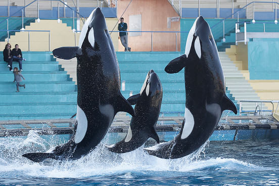 SeaWorld Confirms It Will No Longer Accept Whales Stolen From The Wild UNILAD seaworld 25