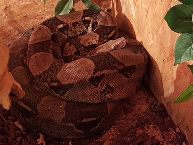 Police Issue Warning After Eight Foot Boa Constrictor Escapes From Cage UNILAD snakelose6