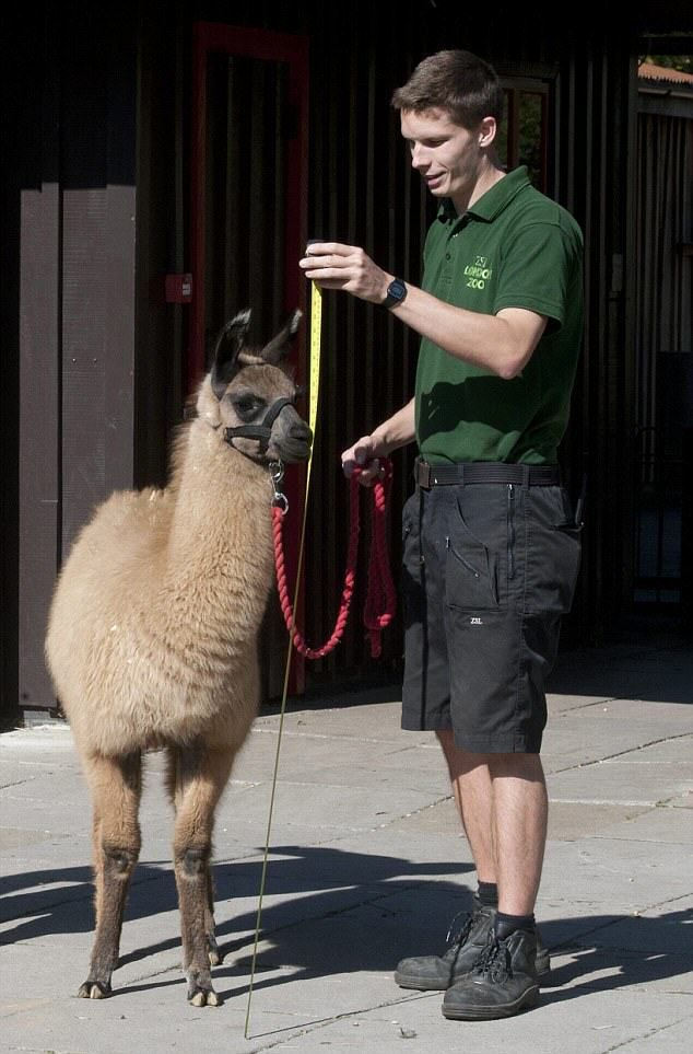 Zoo Worker Glassed Her Love Rival Colleague Over Hunky Llama Keeper hunky