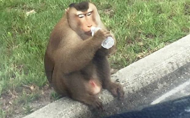 Escaped Monkey F*cks With Police In Florida zeek the monkey  3456760b stanford pd