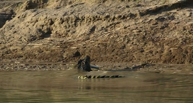 Moment Crocodile Was Caught On Camera Eating One Of Its Own UNILAD 2D6F30C700000578 0 image a 5 14448963859594
