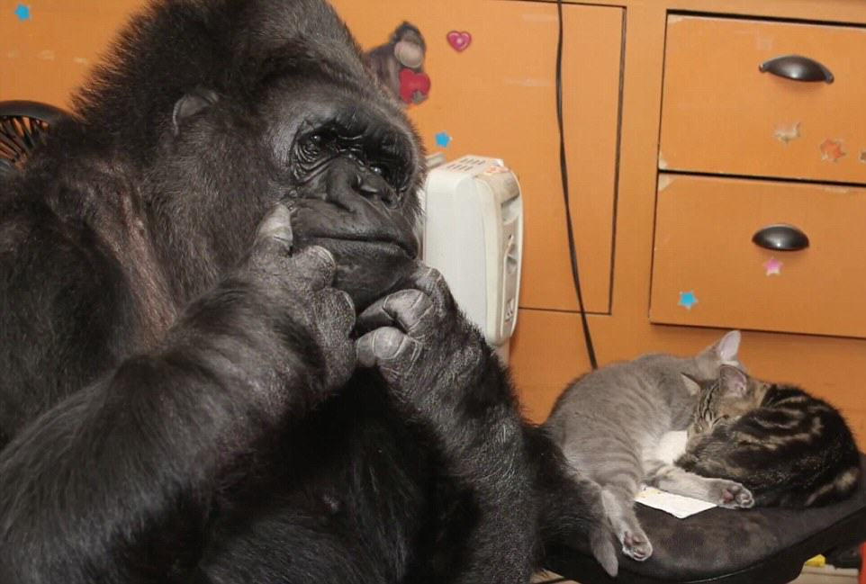 Koko The Gorilla Adopts Two Kittens As Shes Unable To Have Kids UNILAD 2D705F1B00000578 3273726 image m 26 144490796258360920