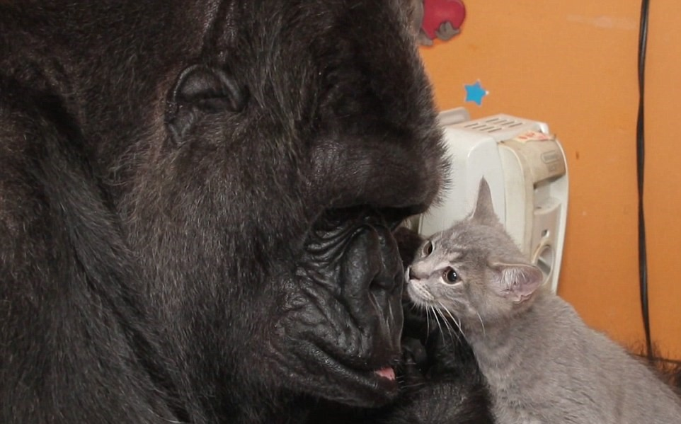 Koko The Gorilla Adopts Two Kittens As Shes Unable To Have Kids UNILAD 2D705F2400000578 3273726 Now a family According to information provided alongside the vid a 19 144490781055217540