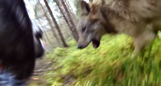 GoPro Footage Shows Dog Fending Off Brutal Wolf Attack In The Forest UNILAD 2DB164C800000578 3285912 image a 3 144559012692532148