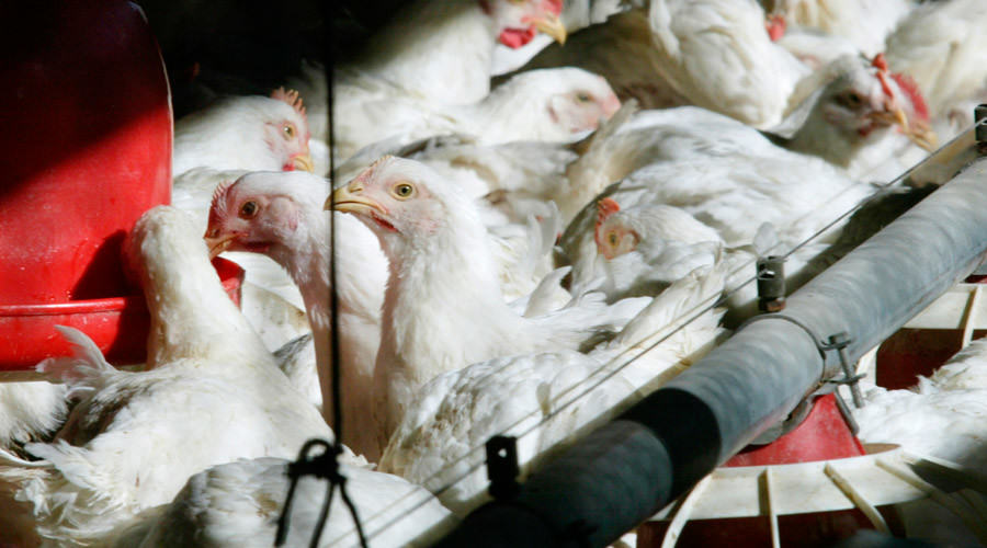 Sickening Footage Of Employees Ripping Chickens Heads Off Gets Them Sacked UNILAD 56317665c46188827b8b45d649530