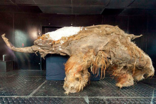 Scientists Discover Perfectly Preserved Extinct Cave Lion UNILAD EXTINCT CAVE LIOn64442