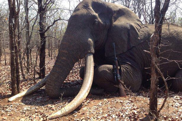 Biggest Elephant In Africa To Be Killed In 30 Years Shot By Hunter UNILAD Elephant shot in Zimbabwe13877