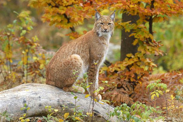 Wild Cats The Size Of Alsatians Could Be Reintroduced To UK To Hunt Deer UNILAD Lynx26337