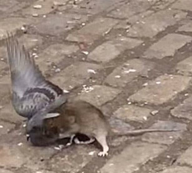 Rat And Pigeon Fight To The Death In Epic Street Battle Video UNILAD Rat attacking pigeon 113