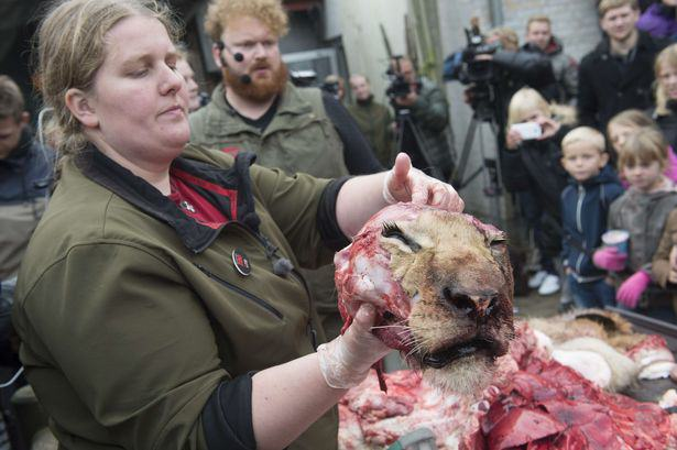 The-dissection-of-a-lion-at-the-zoo-in-Odense-Denmark