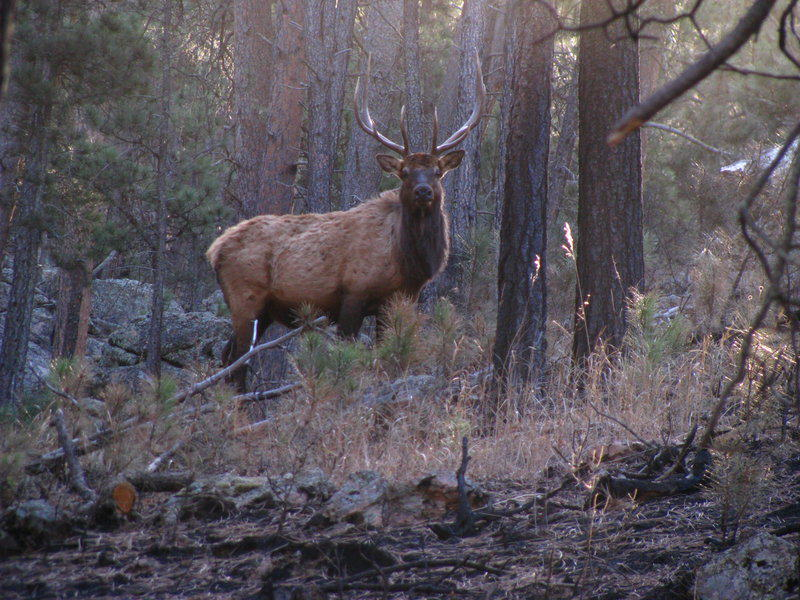 Hunters Track And Kill Two Elk, Realise They Were Firing Into Zoo UNILAD elk in the woods iv by larkpaw d354fhy31819