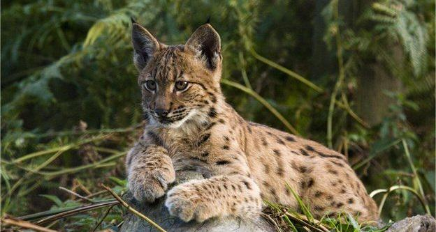 Wild Cats The Size Of Alsatians Could Be Reintroduced To UK To Hunt Deer UNILAD lynx 212380