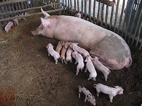 momma pig
