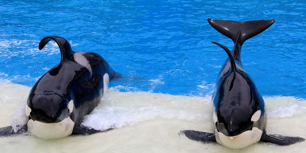 SeaWorld Banned From Breeding Orca Whales In Captivity UNILAD orca seaworld 211