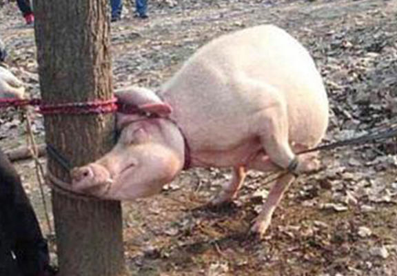 Horrific Scenes As Mother Pig Eats Two Year Old Boy UNILAD pig boy web57019