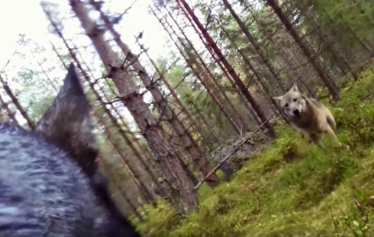 GoPro Footage Shows Dog Fending Off Brutal Wolf Attack In The Forest UNILAD screen shot 2015 10 23 at 09 14 2897562